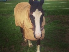 14 year old retired gelding for loan - 13. 2hh
