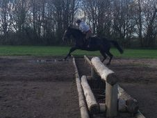 9 year old ID X TB dark bay mare 16. 1hh