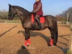 Sharer wanted for my beautiful Black mare  3/4 Thoroughbred