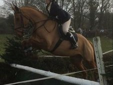 16. 3hh Lancelot Gelding for sale