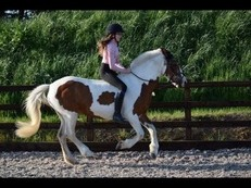 13.2hh Flashy Skewbald Mare