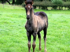 Registered Warlander Filly For Sale