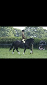 Registered Welsh Section C Gelding. Excels in Showing and Dressage