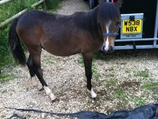 12. 2 5yr Section B Bay Gelding Unbroken