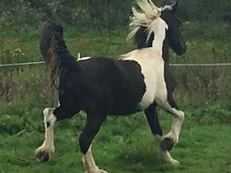 Coloured fregsian X cob filly