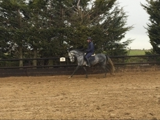 15.1hh Stunning 3YO PRE Andalusian Gelding