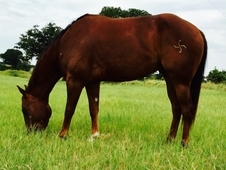 Horses For Sale: 4YR Old All-Around Prospect, Freckles Playboy & ...