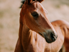 Exquisite oldenburg (santo hit) x lusitano weanling filly