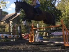 ** Beautiful zangersheide 5year old mare **