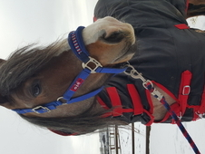 Confidence giving strawberry roan mare 15hh