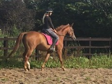 Warmblood mare by first kiss