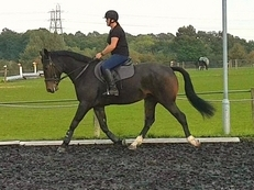Quality all rounder/hunter/dressage