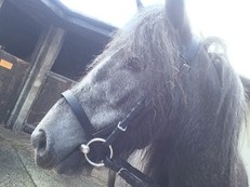 2 & 1/2 year old Dapple Grey pony for sale
