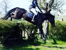 REDUCED Beautiful Anglo Arab x TB mare