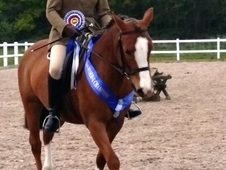 Potential Show Competition Dressage Riding Club Pony