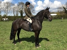 16hh 7 year old black mare