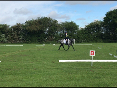 Stunning 15.2 grey gelding for sale