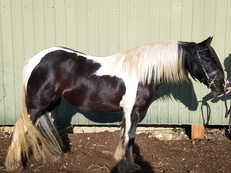 Traditional Cob Mare 13hh