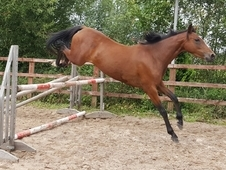 Very flashy 13. 2h 4yr old mare