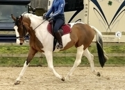 9yr Old 17hh Part Bred Hanoverian Mare