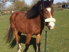 Pure Bred New Forest Gelding for Sale
