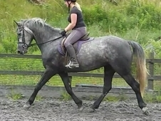 Haslemere Lily, Grey ID Mare