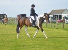 STUNNING 16.2HH TOP BLOODLINES COLOURED GELDING