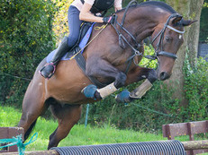 15.3hh TB Gelding for Full loan