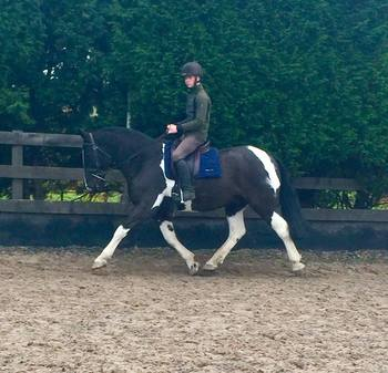 15.1hh Coloured Show Cob Gelding For Sale