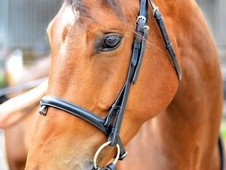 Beautiful Anglo-European Sporthorse for loan