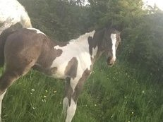 stunning coloured colt for sale