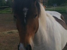 APACHE- Lovely 12 years old German breed pony