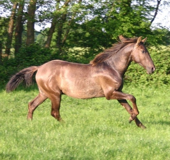 Rare smokey black Andalusian colt