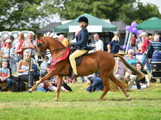 Quality County Level 138cm Show Pony