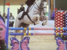 ****16. 1hh Appaloosa x Irish Sports Horse****