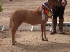 Part bred fallabella BMHS registered mare