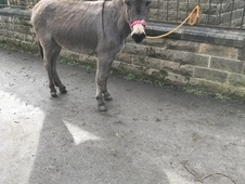 Petula -Traditional Grey Jenny Donkey