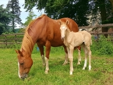 Top Class Palomino Dressage Filly KWPN X Westphalian