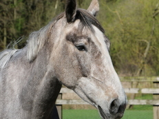 Stunning 16.2hh Grey Sports Horse Irish Mare (excellent breeding lines).
