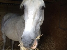Sharer's Required 16hh ID / Trotter Gelding