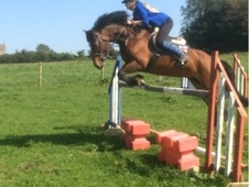 Super 14hh 11yr old mare sec D show jumper cross country all rounder