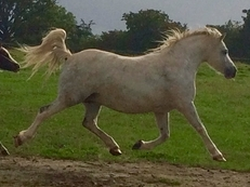 In foal to Heniarth Quinnell sire of 3 welsh A HOYs Winners