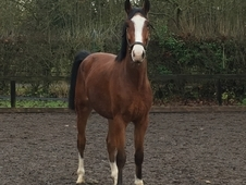 16. 2hh handsome 4yr old bay gelding