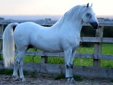 PENECH WELSH SOLDIER - STALLION