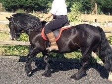 13hh 9 year old cob mare for full loan