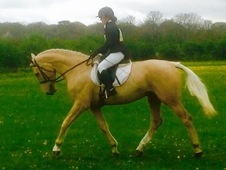 17HH PALOMINO ALL-ROUNDER