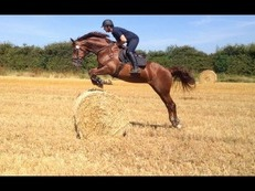 16.2hh 11yr old AES licensed Oldenburg stallion