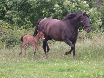Outstanding Andalusian broodmare in foal to top Andalusian stallion