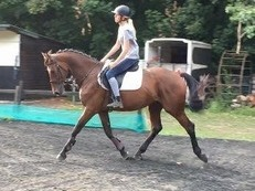Triple Dream 16.1, 6 yr old ISH gelding