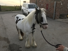 2 yr old Small Heavy Gelding Piebald Pony To Make 13hh